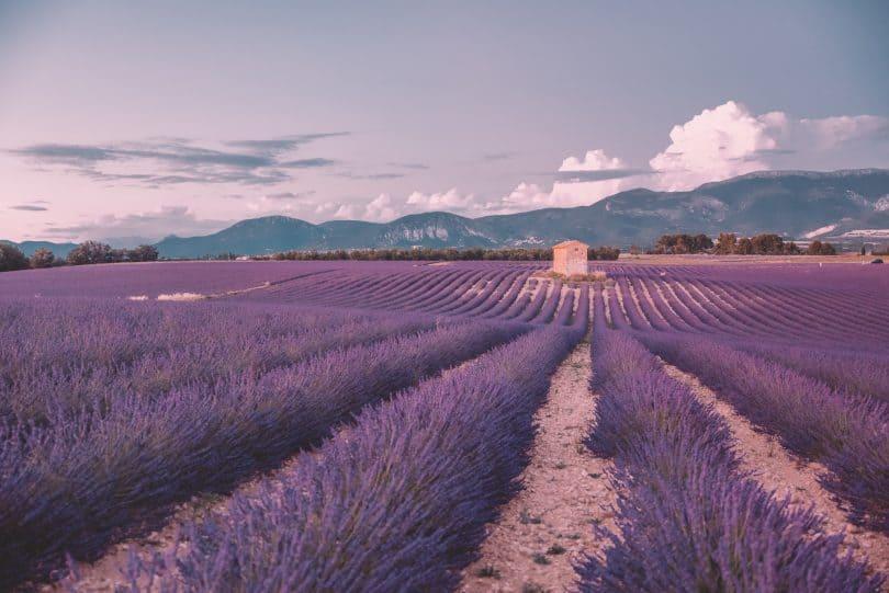 lavendar-fields-sault-2_lelongweekendjpg